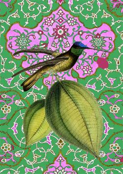 Colibri- Ducth Orientals